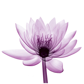 water lily-i